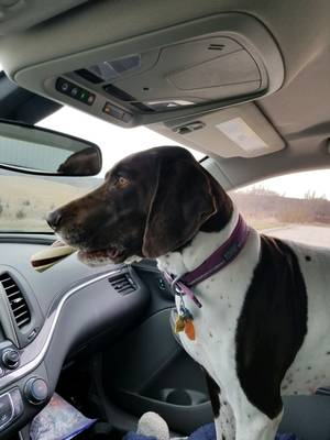 Lost German Shorthaired Pointer in Kennard, NE US