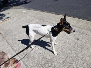 Found Rat Terrier in Pittsburg, CA US