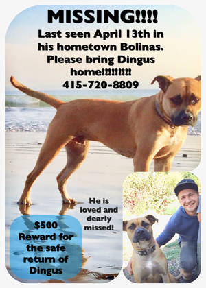 Stolen Pit Bull in Bolinas, CA US