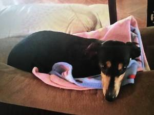 Lost Dachshund in West Covina, CA US
