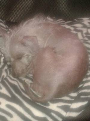 Lost Chinese Crested in Saint Petersburg, FL US
