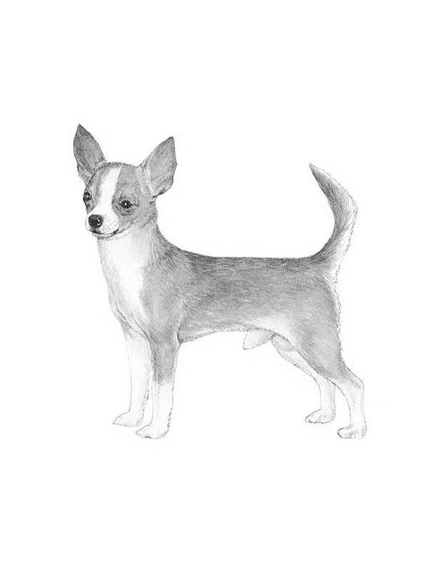 Lost Chihuahua in Marshall, VA US
