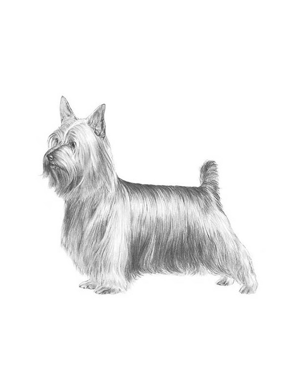 Lost Silky Terrier in Triangle, VA US