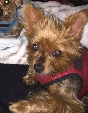 Safe Yorkshire Terrier in Hermosa Beach, CA US