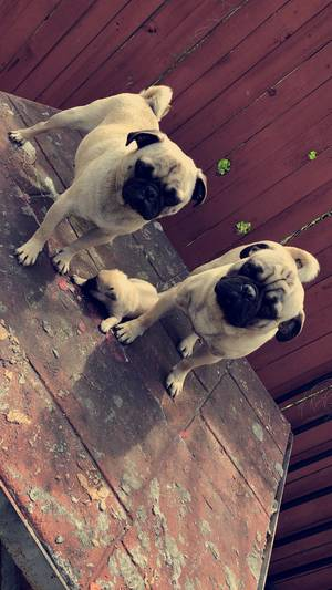 Safe Pug in San Antonio, TX US
