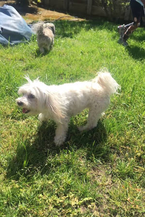 Safe Poodle in Antioch, CA US