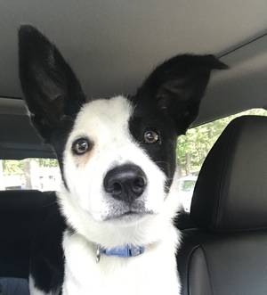 Lost Border Collie in Street, MD US