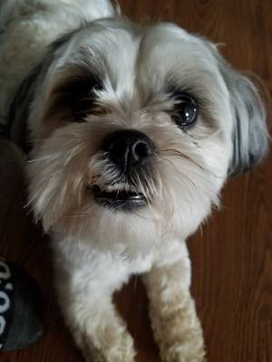 Lost Shih Tzu in Troy, MO US
