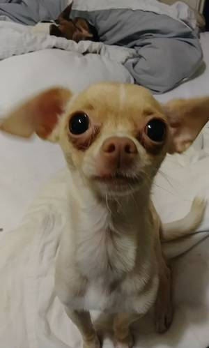 Lost Chihuahua in San Diego, CA US