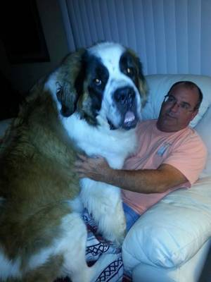 Lost St. Bernard in Saint Petersburg, FL US