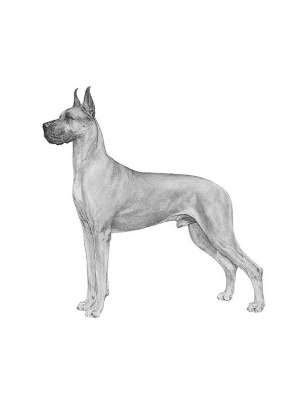 Lost Great Dane in Uniontown, PA US