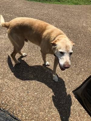 Found Labrador Retriever in Columbia, TN US