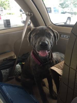 Found Labrador Retriever in Lutz, FL US