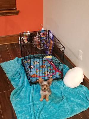 Lost Yorkshire Terrier in Jacksonville, TX US
