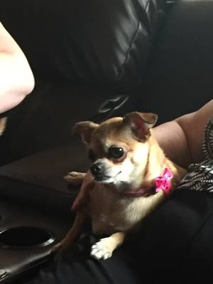 Lost Chihuahua in Burleson, TX US
