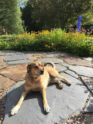 Lost Black Mouth Cur in Belmont, MA US