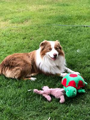 Lost Australian Shepherd in Paso Robles, CA US