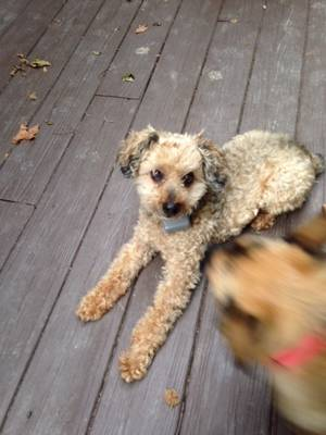 Lost Dog in Morgantown, WV US