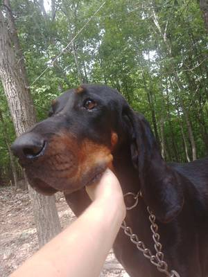 Found Black and Tan Coonhound in Marshall, AR US