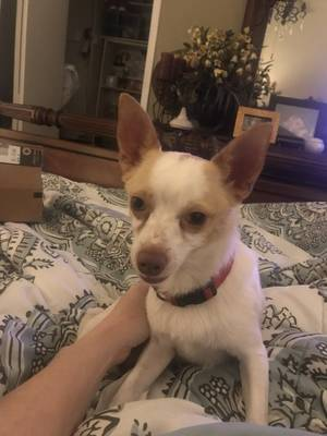 Found Chihuahua in Arlington, TX US