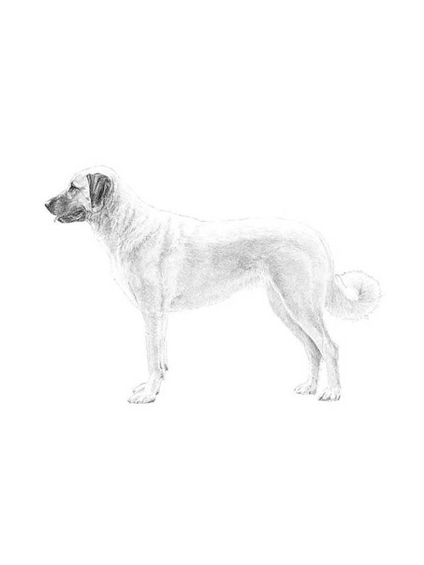 Lost Anatolian Shepherd Dog in Walden, NY US