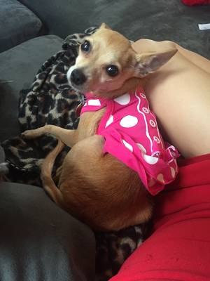 Safe Chihuahua in Pasadena, TX US