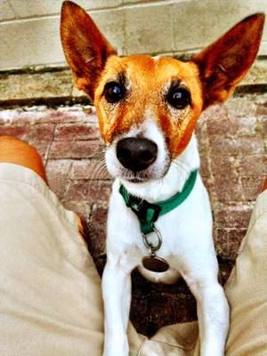 Lost Jack Russell Terrier in Marriottsville, MD US