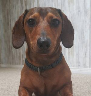 Lost Dachshund in Bakersfield, CA US