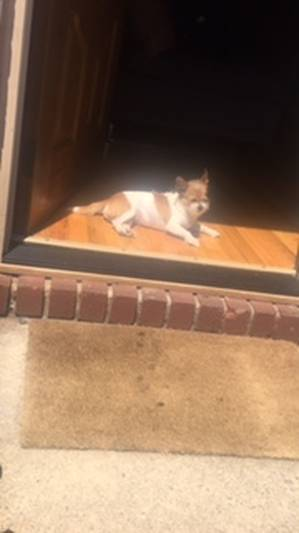 Safe Chihuahua in Elmont, NY US