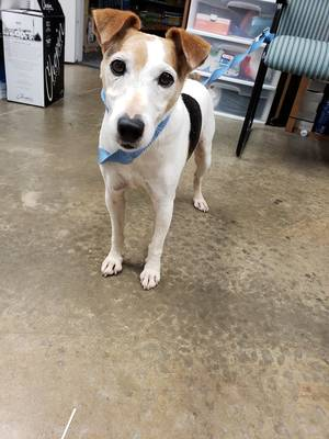 Found Jack Russell Terrier in King George, VA US