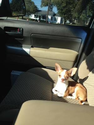 Lost Chihuahua in Rosenberg, TX US