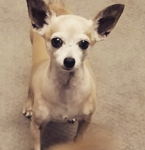 Safe Chihuahua in Anaheim, CA US