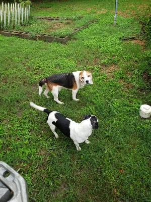 Safe Beagle in Houston, TX US