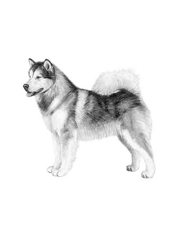 Lost Alaskan Malamute in Bloomingdale, OH US
