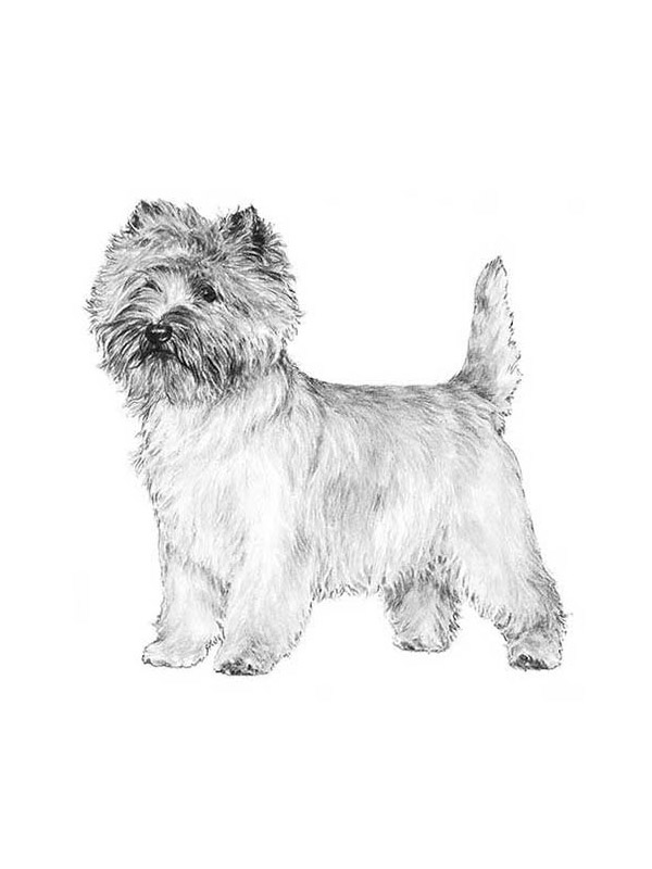 Lost Cairn Terrier in Philadelphia, PA US