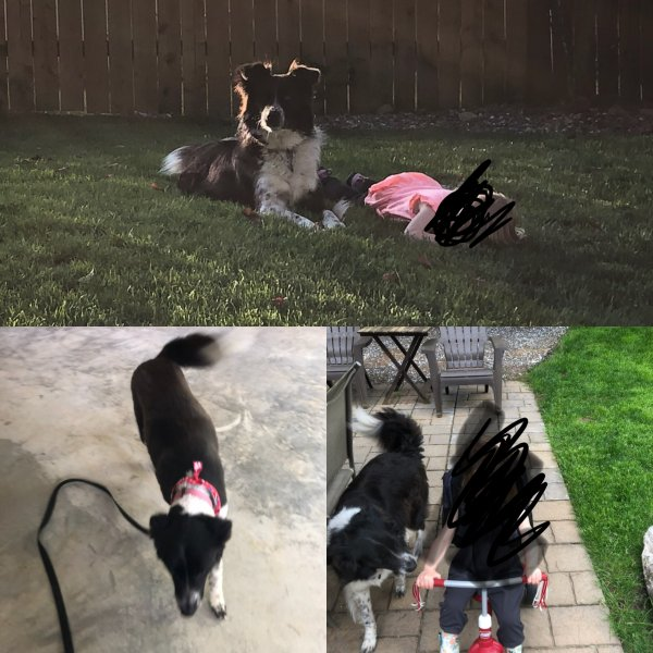 Safe Border Collie in Cookeville, TN US