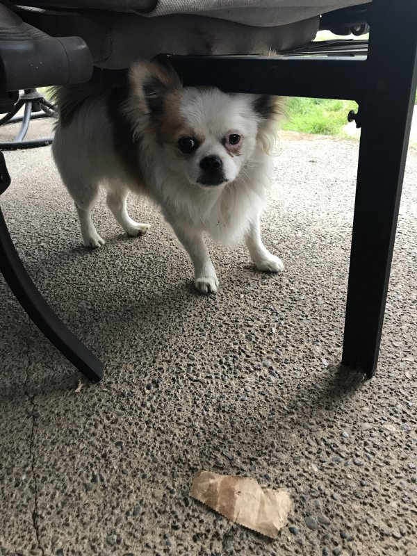 Found Pomeranian in Canby, OR US