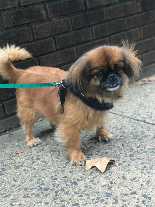 Safe Pekingese in Jersey City, NJ US