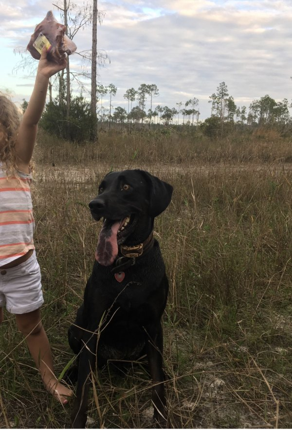 Safe Labrador Retriever in Naples, FL US