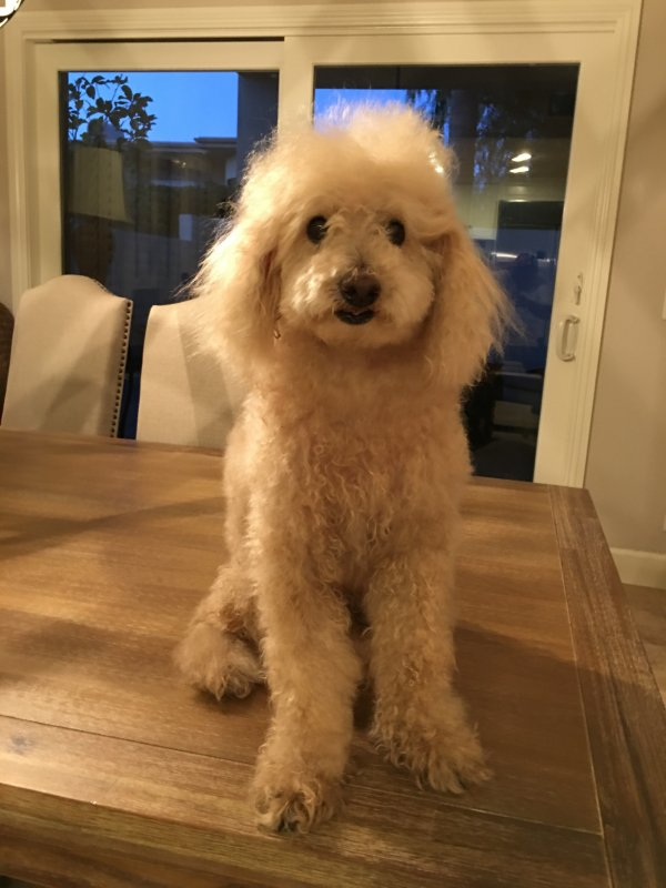 Safe Poodle in San Clemente, CA US
