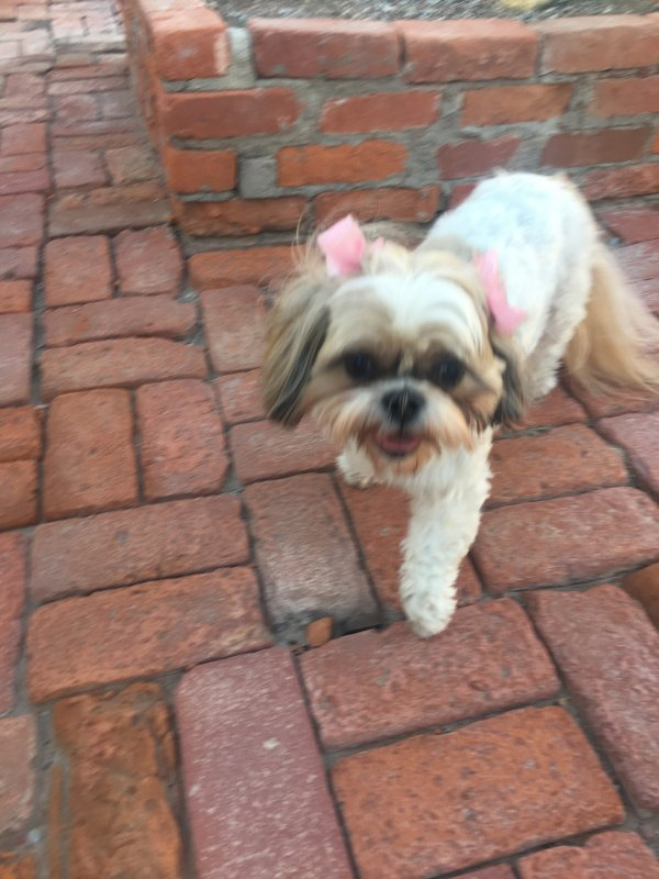 Best Shih Tzu For Sale In El Paso Tx Image Collection