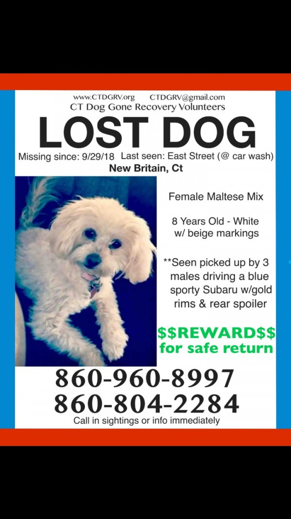 Lost Maltese in New Britain, CT US