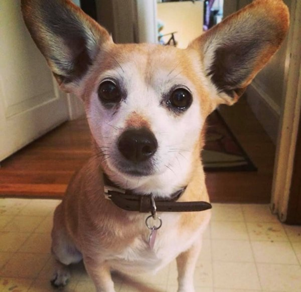Lost Chihuahua in Medford, MA US