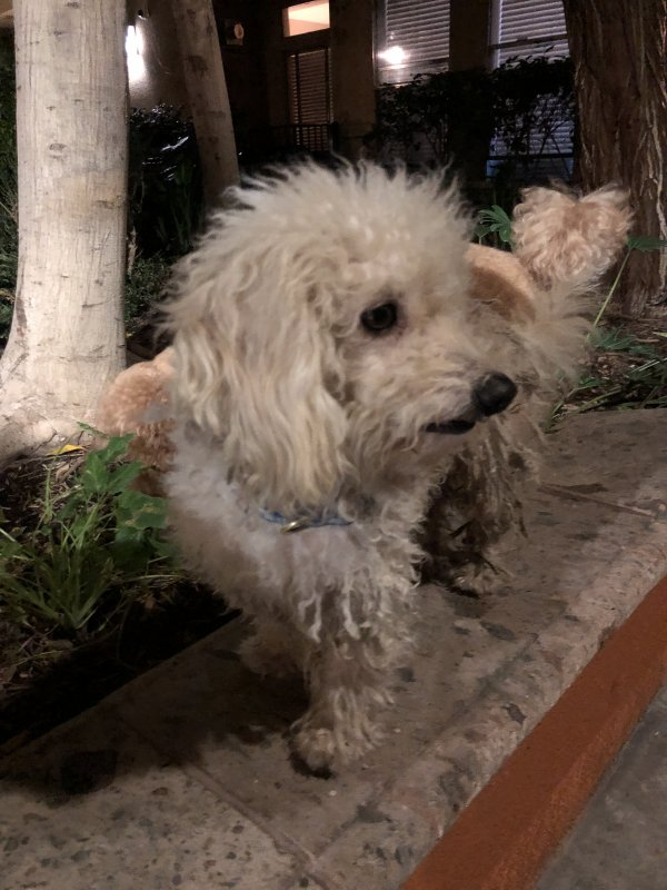 Found Poodle in Los Angeles, CA US
