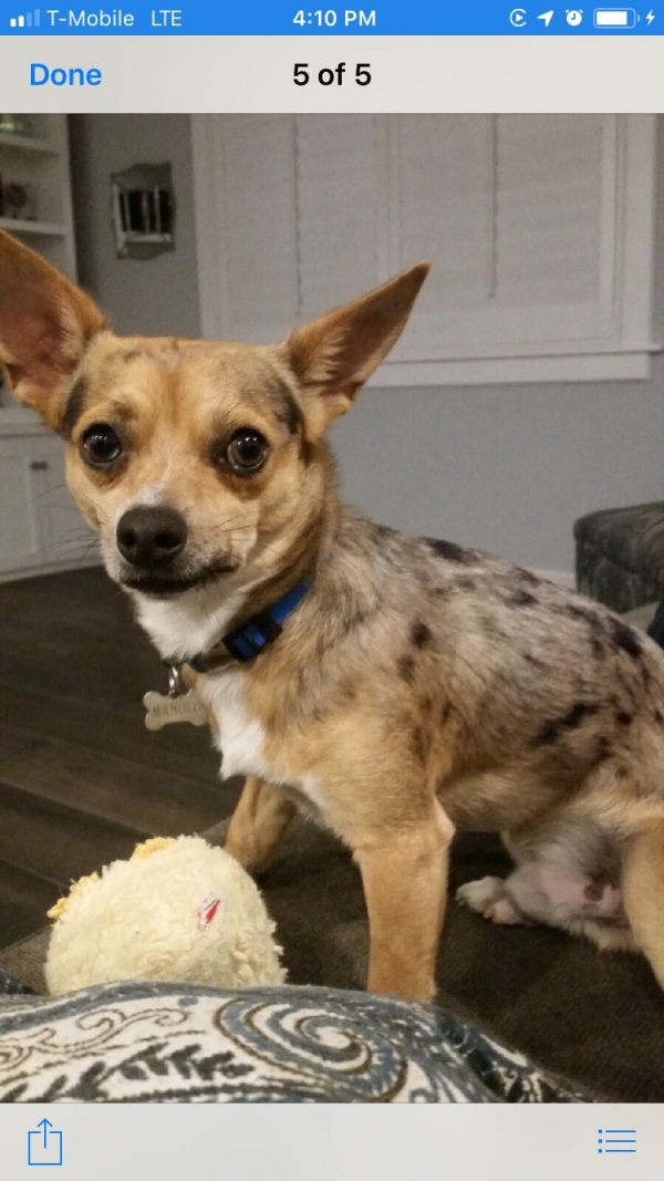 Lost Chihuahua in West Covina, CA US