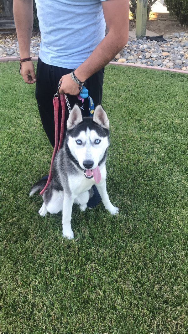 Found Siberian Husky in San Jose, CA US