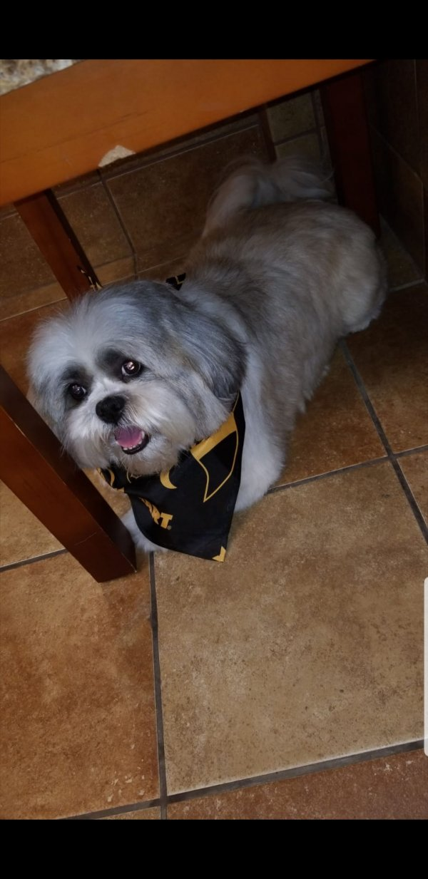 Safe Shih Tzu in Fort Lauderdale, FL US
