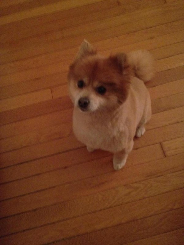 Safe Pomeranian in Los Angeles, CA US
