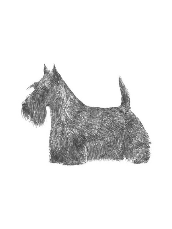 Found Scottish Terrier in Franklin, VA US