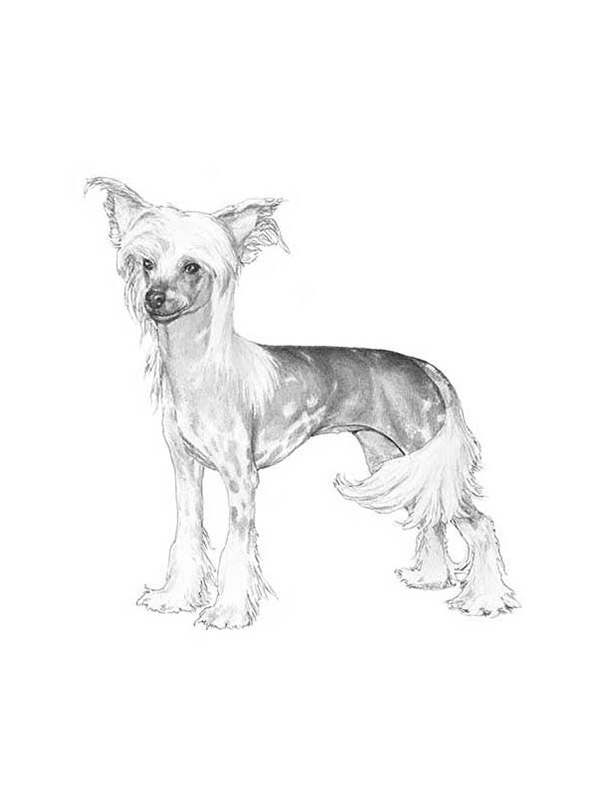 Lost Chinese Crested in Pittsburgh, PA US
